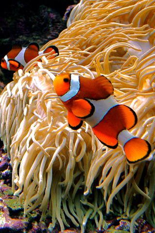 Animals Iphone Wallpaper Clown Fish 2 Iphone 320x480