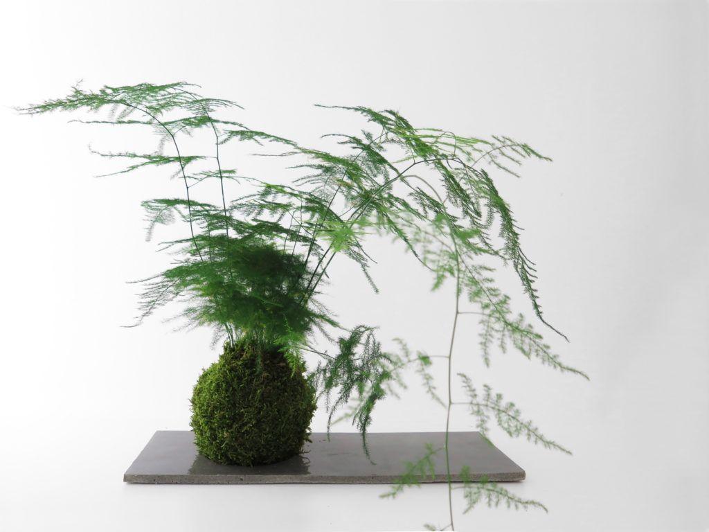 Asparagus fern • kokedama