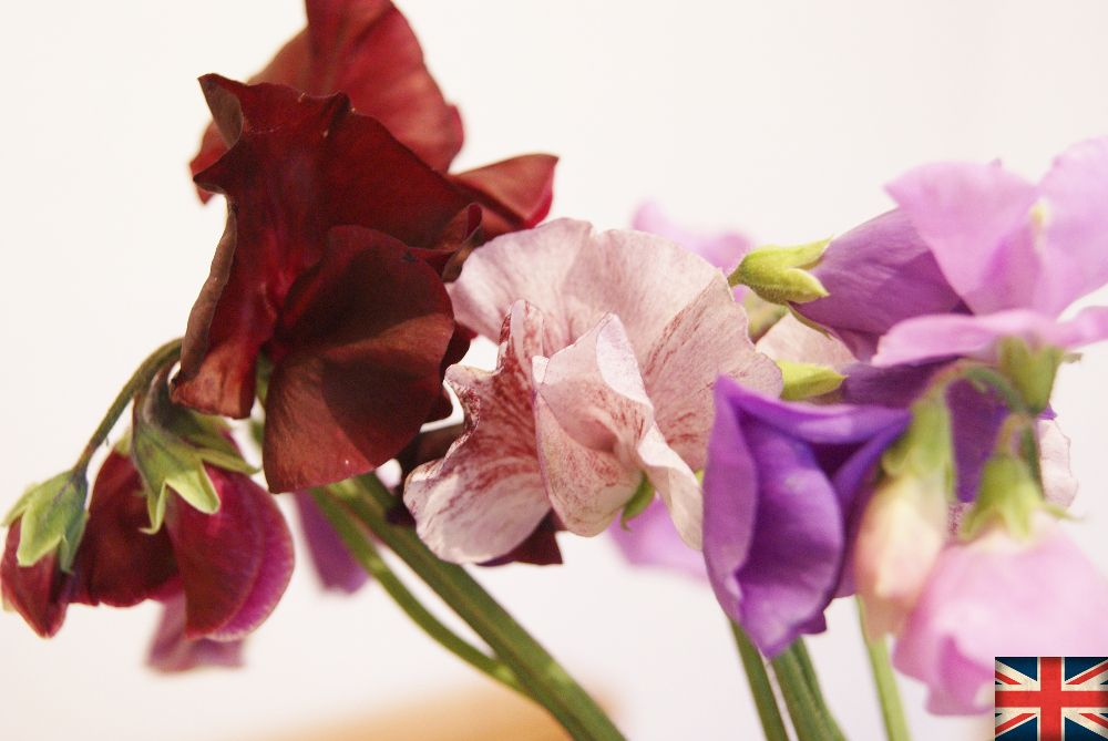 Sweet pea | Florissimo, Shropshire - Flowers for weddings, events and businesses in Shropshire and beyond. British sweet peas have a long growing season