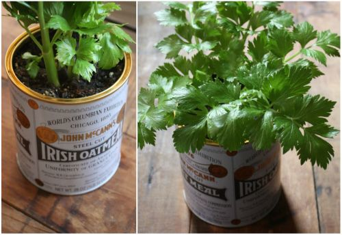 GROWING CELERY FROM THE ROOT YOU BOUGHT AT THE GROCERY STORE IN YOUR HOUSE