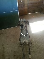 Adopt Tyler On Great Dane Dogs Great Dane Rescue Dogs