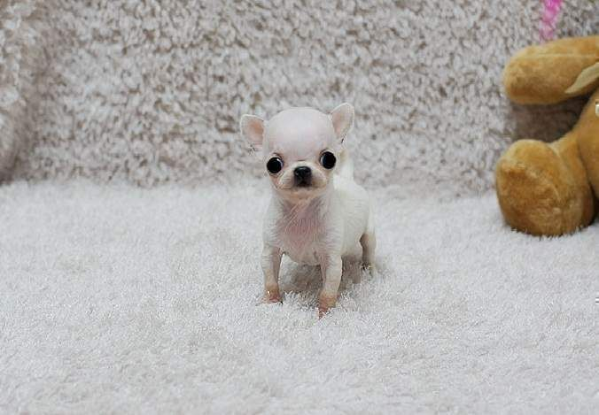 Tiny Teacup Chihuahua Puppies Available For Sale