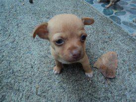 chihuahua - pets - mascota - perros