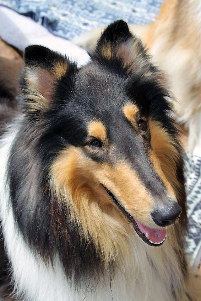 Cooper 5 Rough Collie Collie Puppies Collie Dog