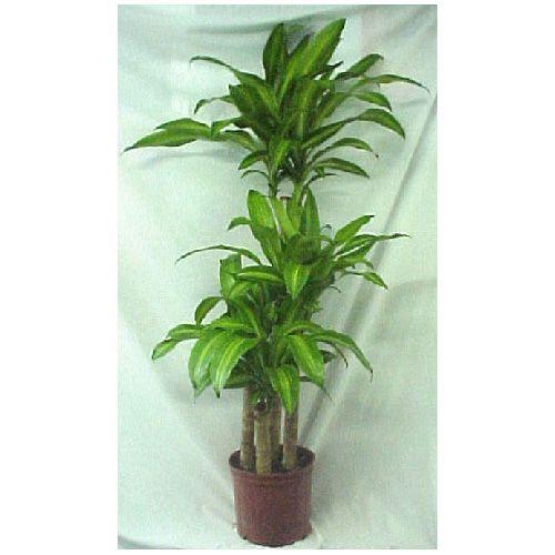 Plante tropicale interieur for Plantes d interieures