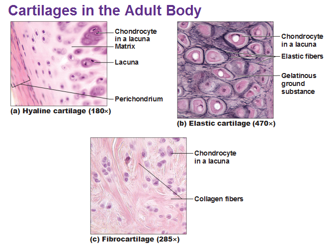Cartilage And Bones Hyaline Cartilage Cartilage Collagen Fibers