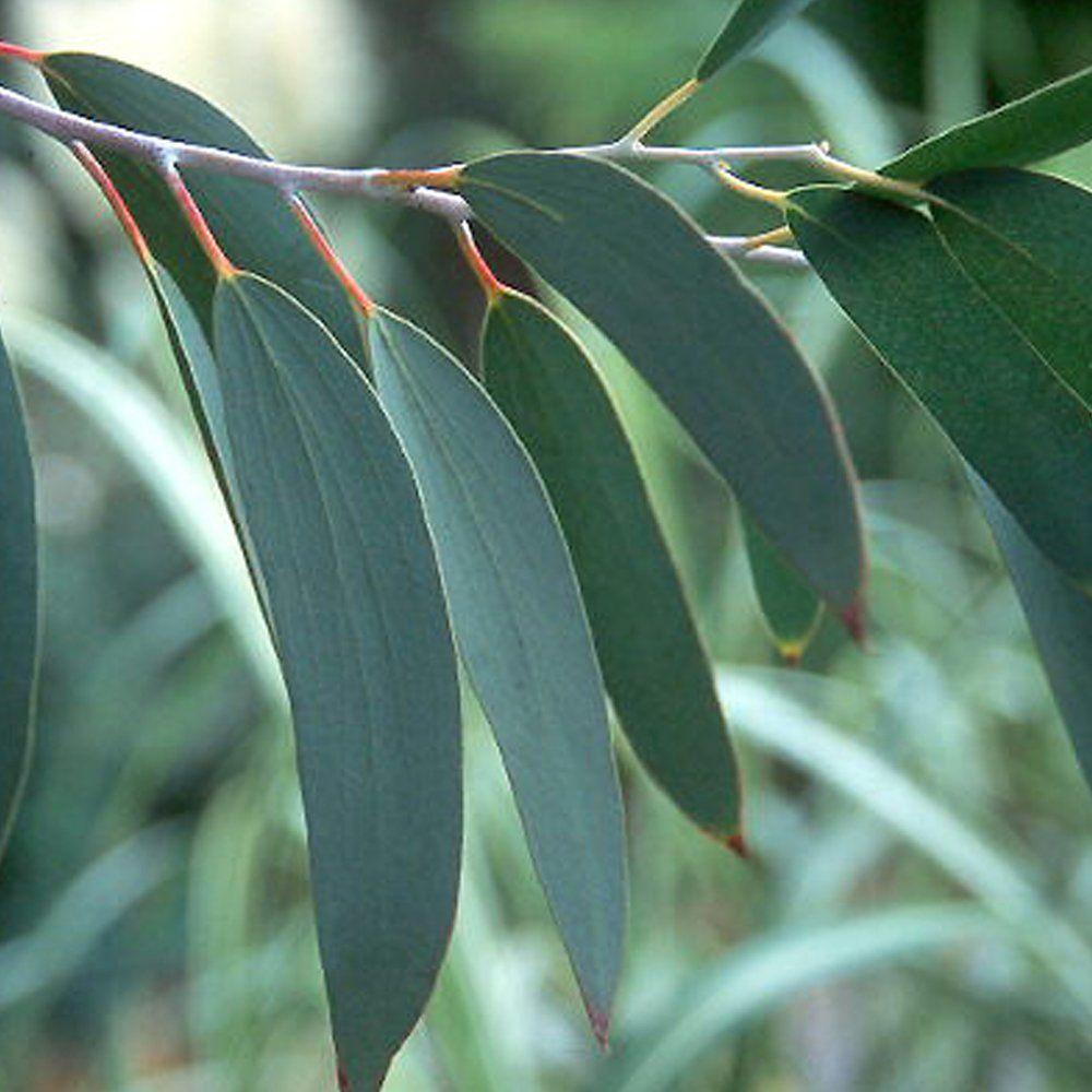 Eucalyptus Essential Oil Trees To Plant Eucalyptus Eucalyptus Tree