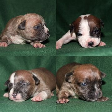 American Bully Puppy For Sale In Littlestown Pa Adn 27822 On