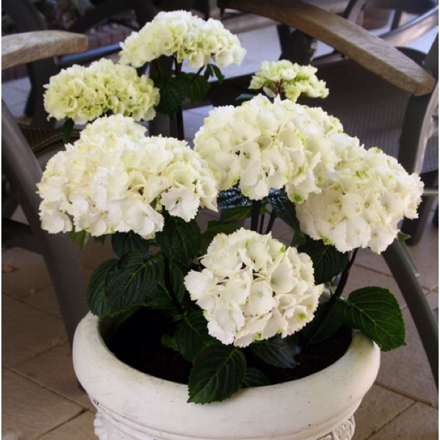 Hydrangea Boquet Rose Mophead 30-50cm Supplied in a 5 Litre Pot