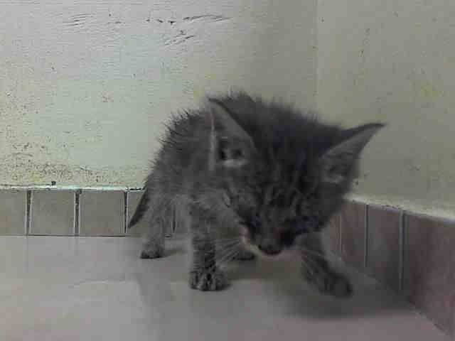 TO BE DESTROYED 9/10/14 ** SECOND CHANCE! BABY ALERT!! Friendly and allowed handling eating soft food well on own ** Brooklyn Center My name is LINDSEY. My Animal ID # is A1013005. I am a female gray tabby domestic sh mix. The shelter thinks I am about 5 WEEKS old. I came in the shelter as a STRAY on 09/04/2014 from NY 11233, Group/Litter #K14-193059.