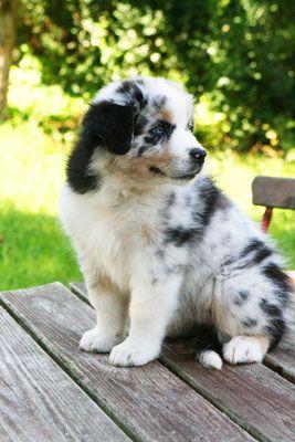 Nachzucht Australian Shepherd Deckrude Aussie Dogs Australian Shepherd Dogs