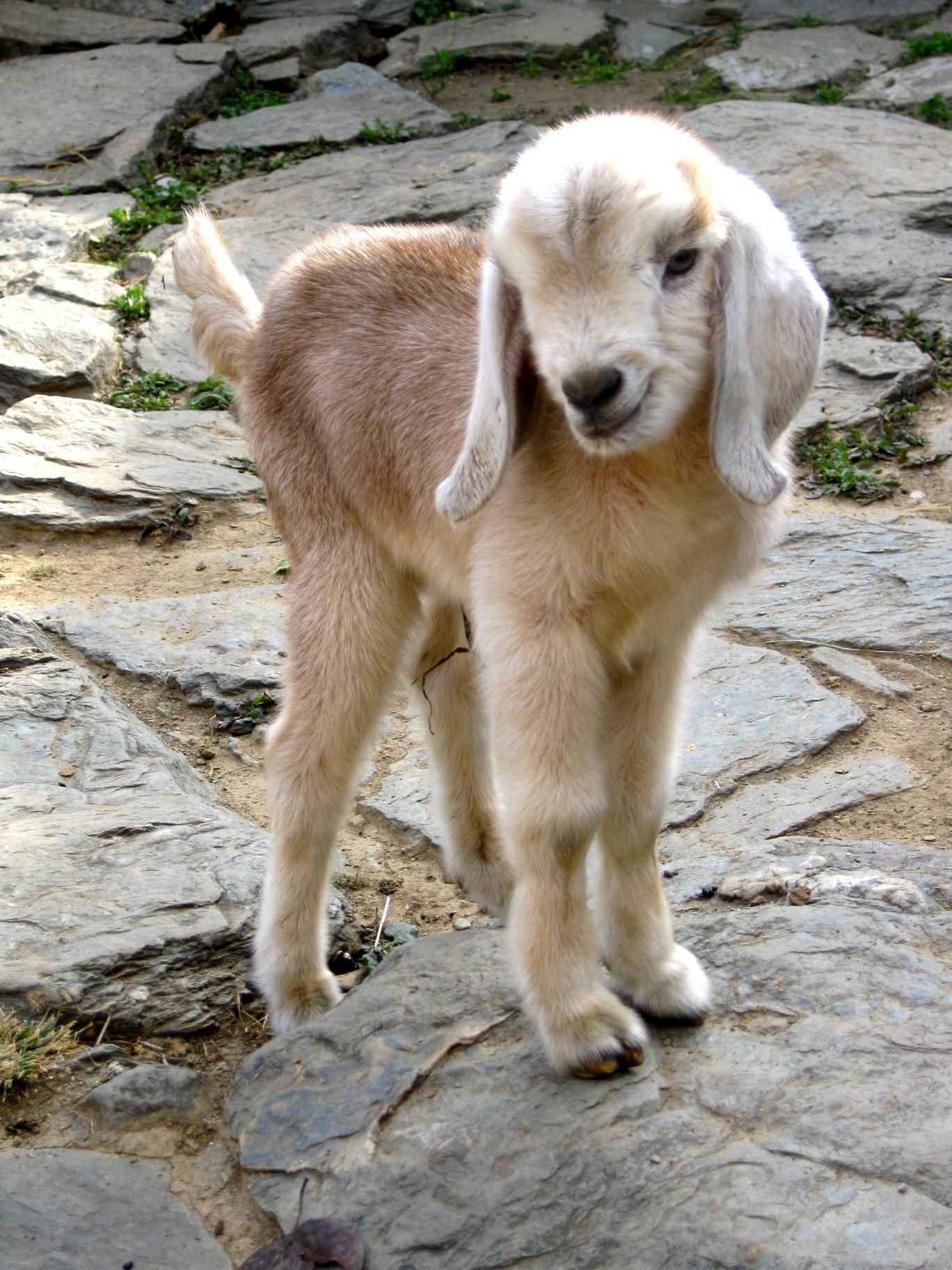 Color Analysis In Nature Cute Goats Cute Animals Cute Baby Animals