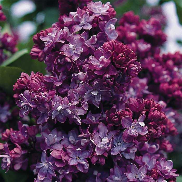 Jung Seed Lilac Varieties Flower Landscape French Lilac