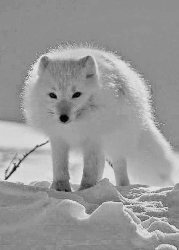 Snowy White Fox Hiver Pinterest White Fox Foxes And Animal