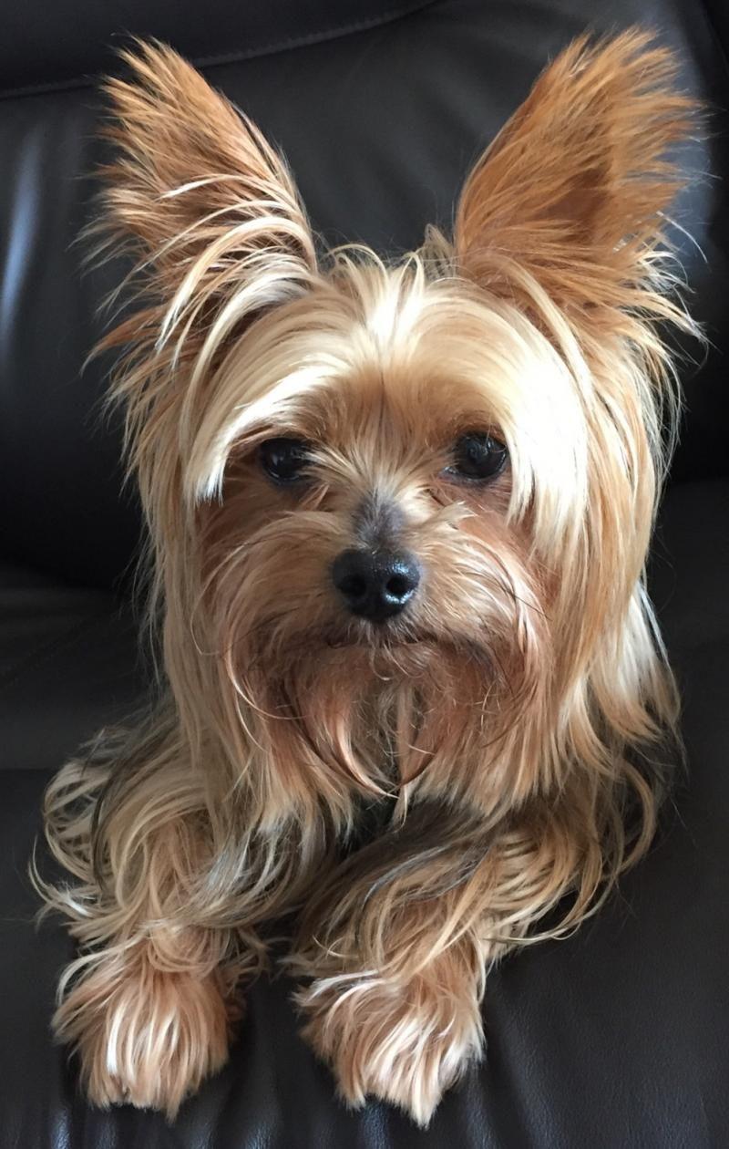 Adopt Bradford on Yorkie dogs, Yorkshire terrier