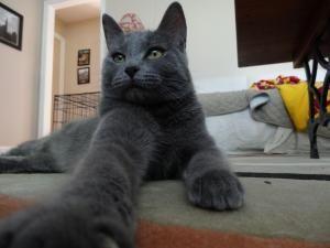 Adopt Chantel On Petfinder Russian Blue Russian Blue Cat City Pets