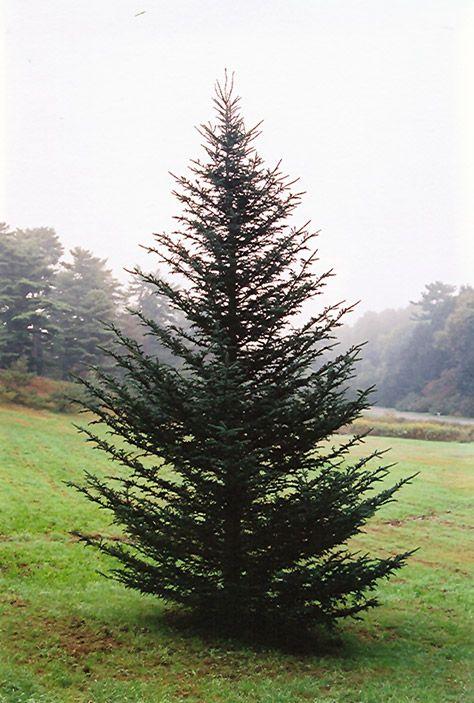 Gertens Christmas Trees