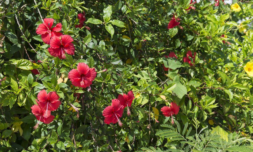 Wie Schneidet Man Rosen : sommerbl hende str ucher im sp twinter schneiden hibiskus schneiden weigelie und garten ideen ~ A.2002-acura-tl-radio.info Haus und Dekorationen