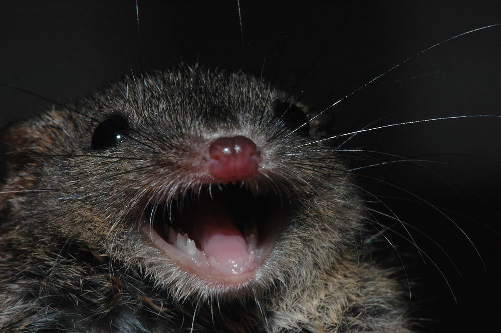 Antechinus' happy face