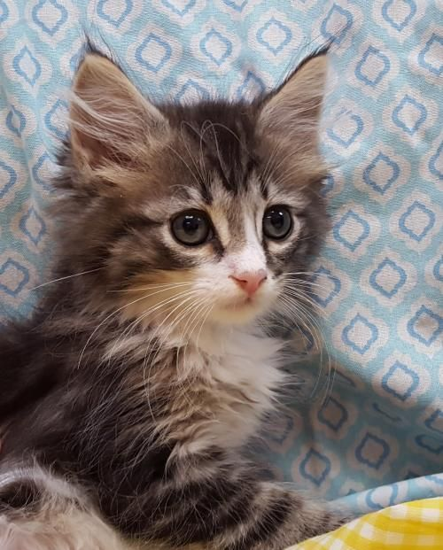 Meet Rollie 22685 A Petfinder Adoptable Domestic Medium Hair Cat Prattville Al Rollie Is An 8 9 Week Old White Brown Tabby Cat Cat Adoption Pet Adoption