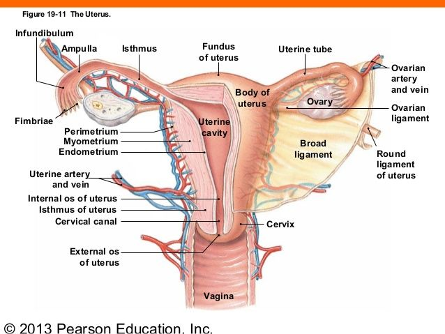 Obliterated Gubernaculum Becomes The Ovarian Ligament And Round