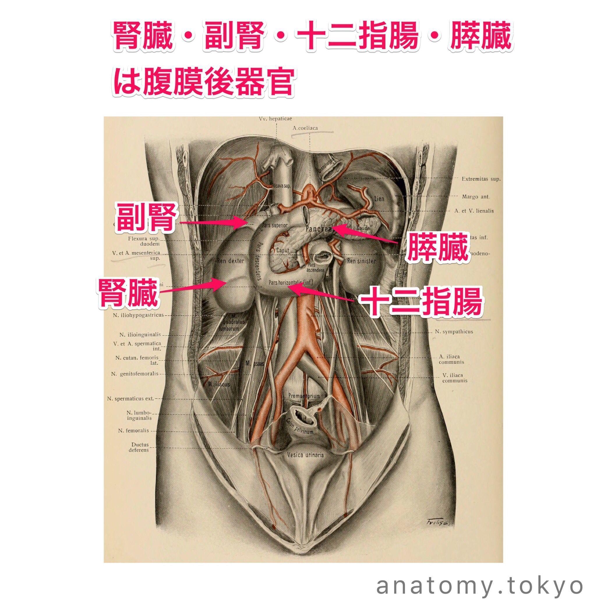 膵臓は (腹膜 器官) である (解答) 腹膜後器官 膵臓は腹膜後器官です ...