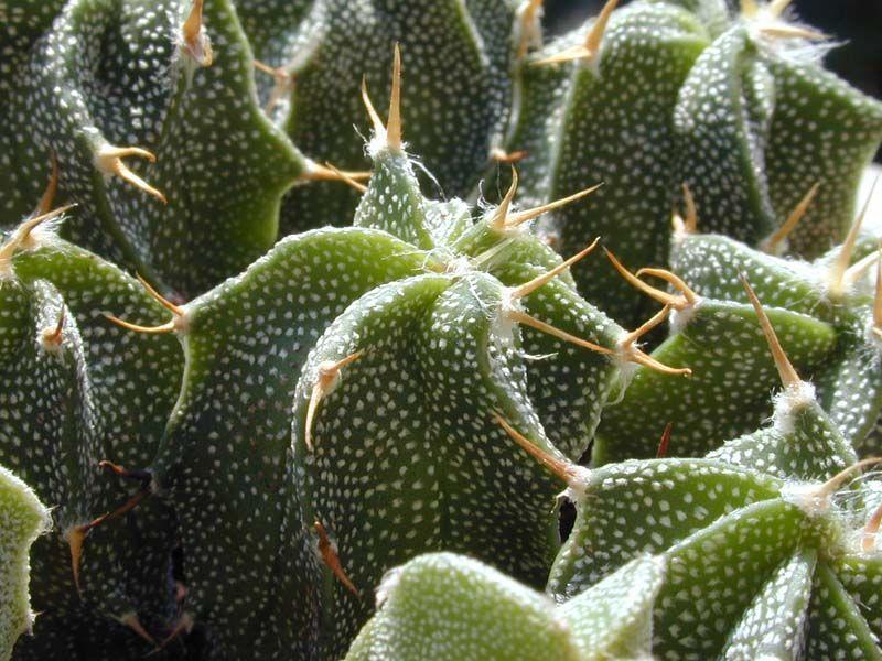 Astrophytum ornatum della famiglia delle Cactacee