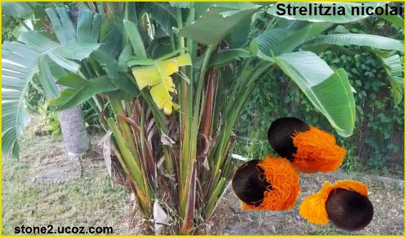 عصفور الجنة الكبير او الموز البري Strelitzia Nicolai نبات الزينة النبات معلومان عامه معلوماتية Plants