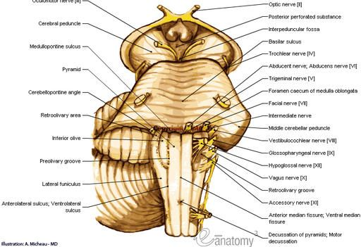 Brainstem : Pons, Myelencephalon; Medulla oblongata; Bulb ...