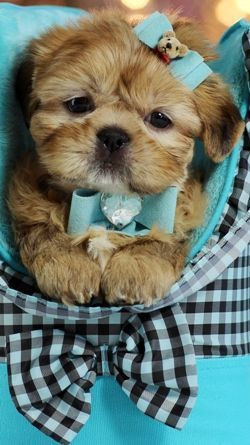 Teacup Shih Tzu Puppy With Images Shih Tzu Puppy Puppies Cute Dogs
