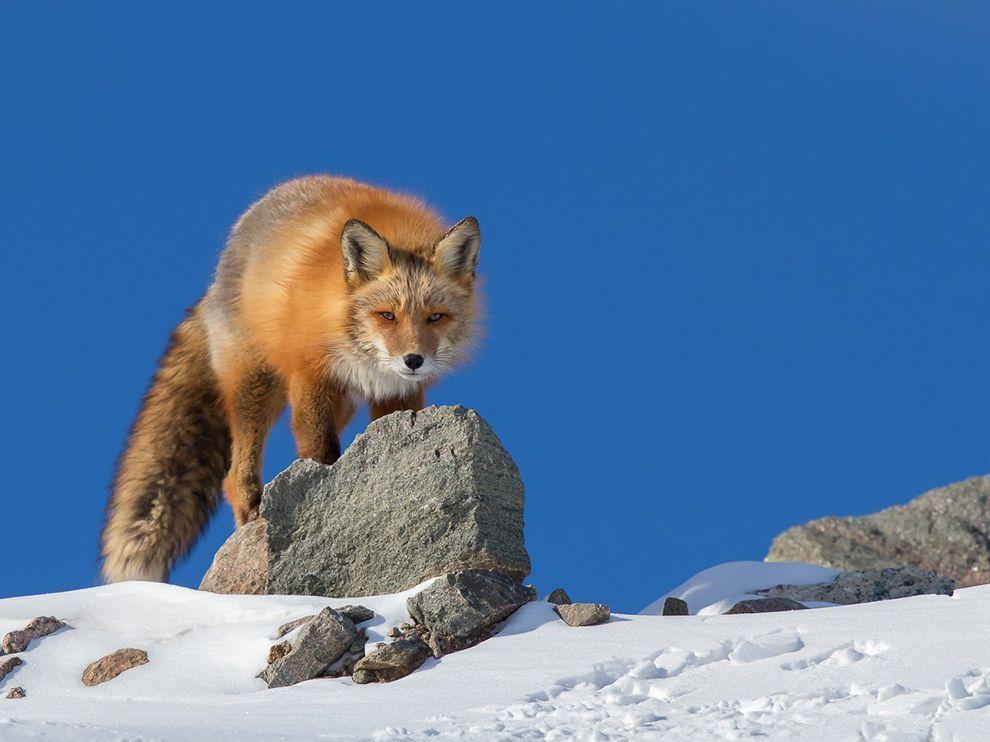 Imagem de uma curta raposa vermelha na neve.