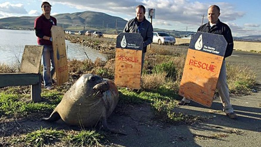 Elephant seal repeatedly tries to cross California highway