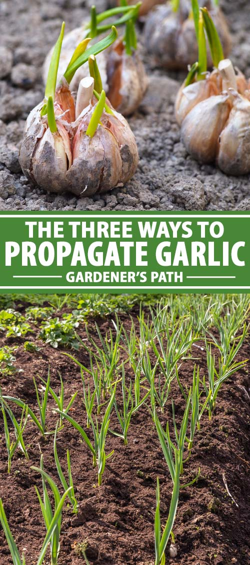 The Three Ways to Propagate Garlic #outdoorherbgarden