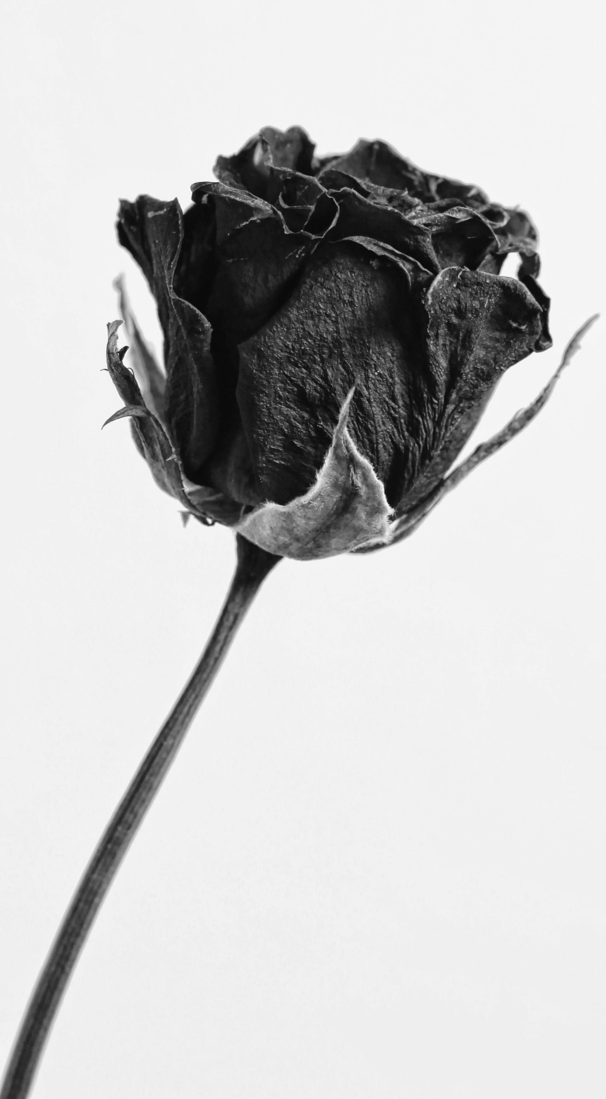 Download Gambar Bunga Mawar Layu Di 2021 Mawar Hitam Gambar Bunga Bunga