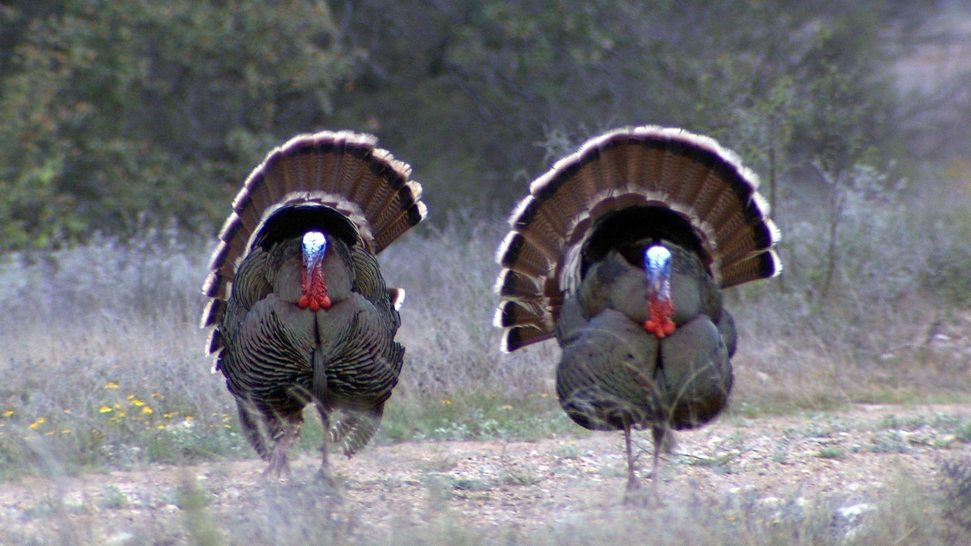 Americana outdoors where to aim on a turkey turkey