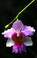 Singapore S National Flower Is The Vanda Miss Joaquim Http Www Nparks Gov Sg Orquidiario Orquideas Flores