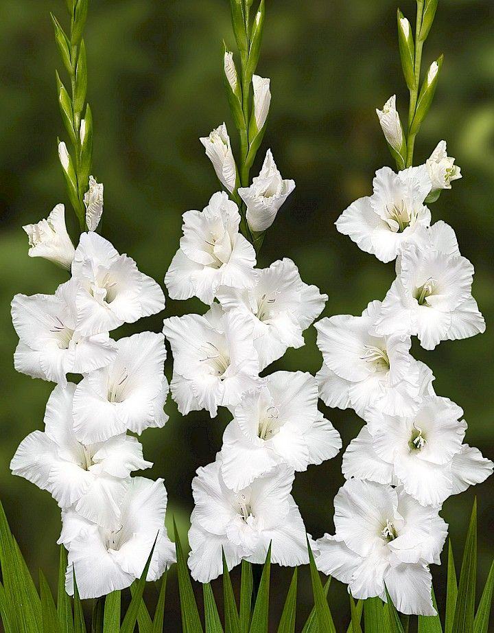Gladiolus Siberia Flores preciosas Pinterest Flores preciosas