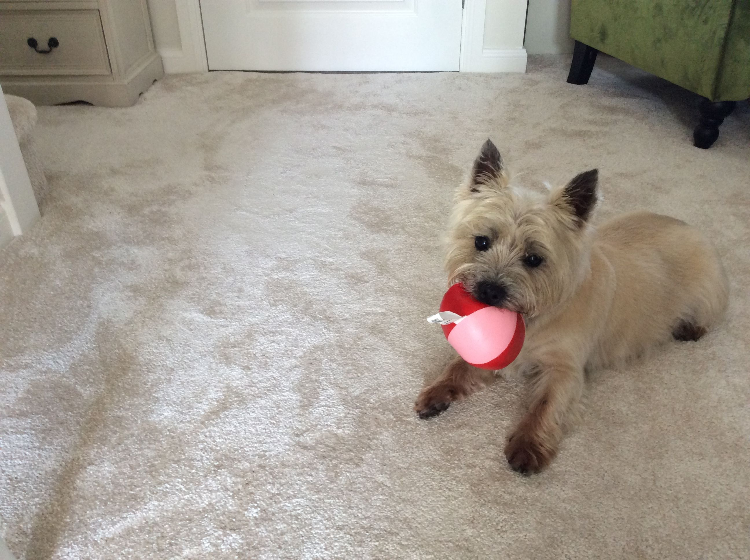 Top Cairn Terrier Ball Adorable Dog - c8f247cb0b30246ae468cee6902362dc  Snapshot_43848  .jpg