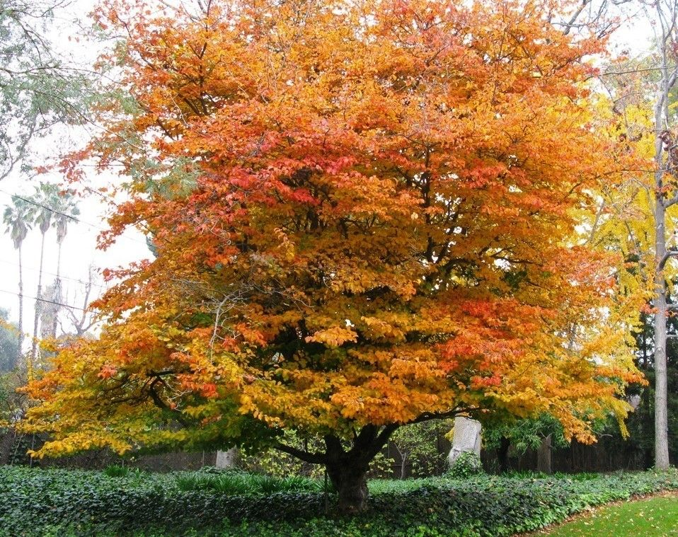 Parrotia persica persian ironwood leafland for Unusual small trees
