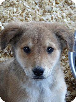 Vacaville Ca Golden Retriever German Shepherd Dog Mix Meet