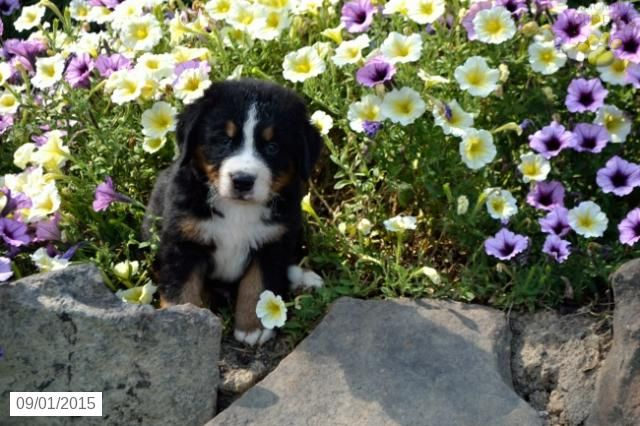Bernese Mountain Dog Puppy For Sale In Ohio Bernese Mountain Dog Puppy Bernese Mountain Dog Puppies For Sale