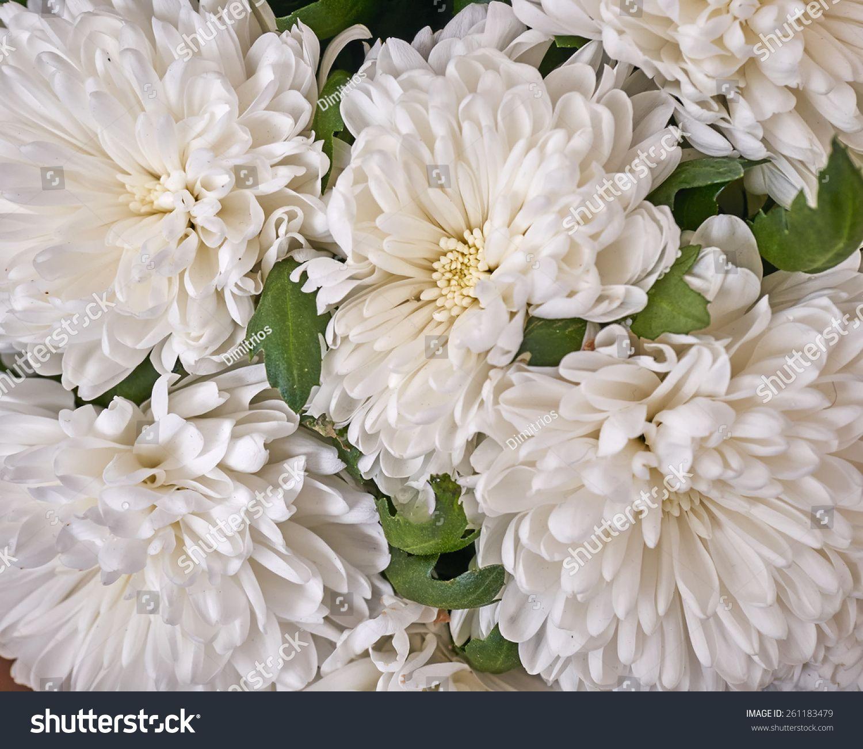 Pale White Chrysanthemum Flowers Closeup Natural Background White Chrysanthemum Chrysanthemum Flower Pale White