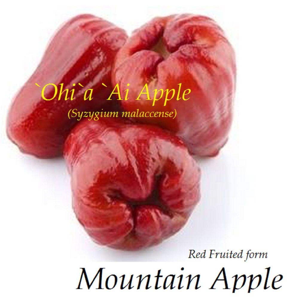 red mountain apple fruit tree syzygium malaccense ohi u0027a ai apple