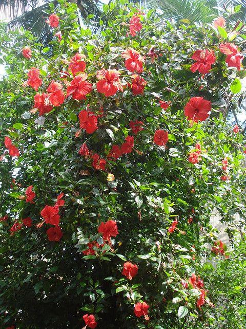 Hibiscus Plant Chembaruti Hibiscus Plant Plants Growing Hibiscus