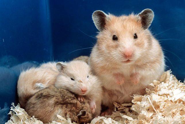 Cute Hamster Names Male And Female Hamster Cute Hamsters