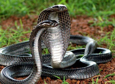 Part Of The Naja Family Cobras I Can T Id It Without Knowing