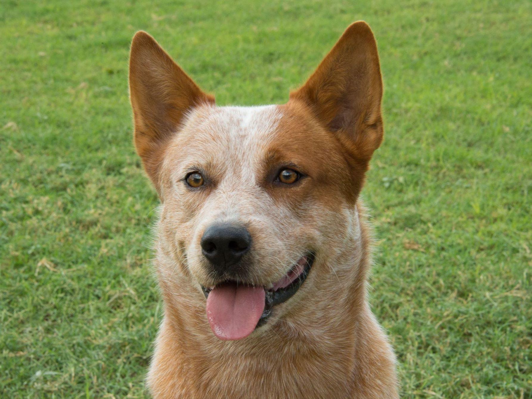 Australian Cattle Dog Ginger Australian Dog Breeds Australian Cattle Dog Dog Breeds Pictures