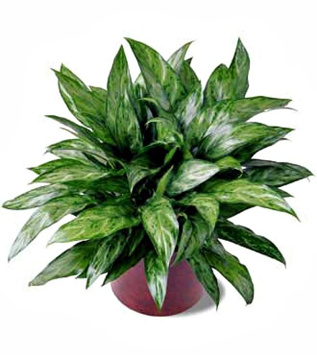 Chinese Evergreen   House Plants That Clean The Air. Prefer Filtered Light  And Humidity