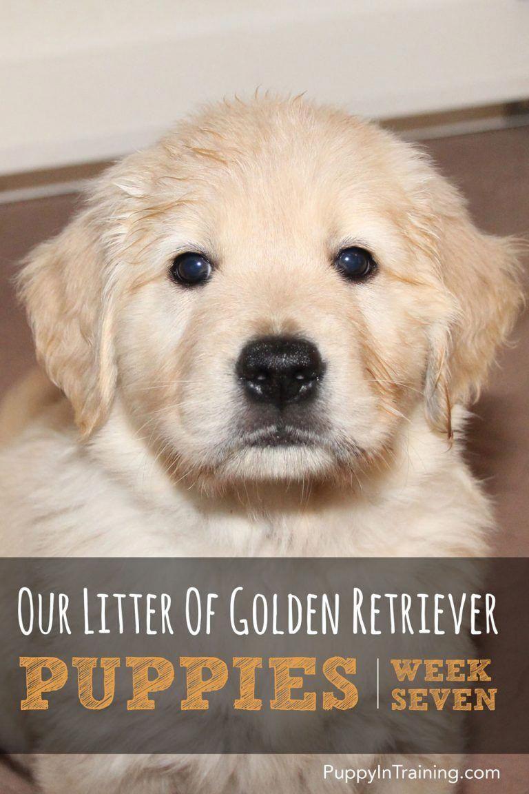 Golden Retriever Pups Week 7 Labrador Puppies Retriever Dog