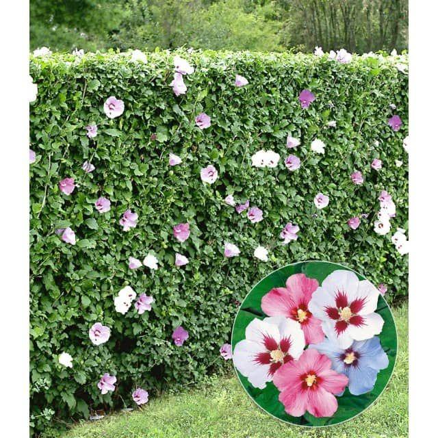 hibiskus hecke 5 pflanzen baldur garten gmbh sichtschutz garten pinterest. Black Bedroom Furniture Sets. Home Design Ideas